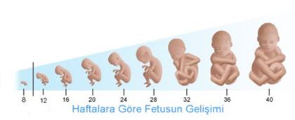 Fetal Kilo Ağırlık Boy Uzunluk Tahmini ölçümü Bebek Kilosu Hesaplama