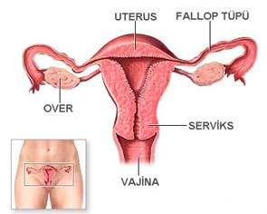 Kadın Anatomisi, Genital Bölge Resimleri,